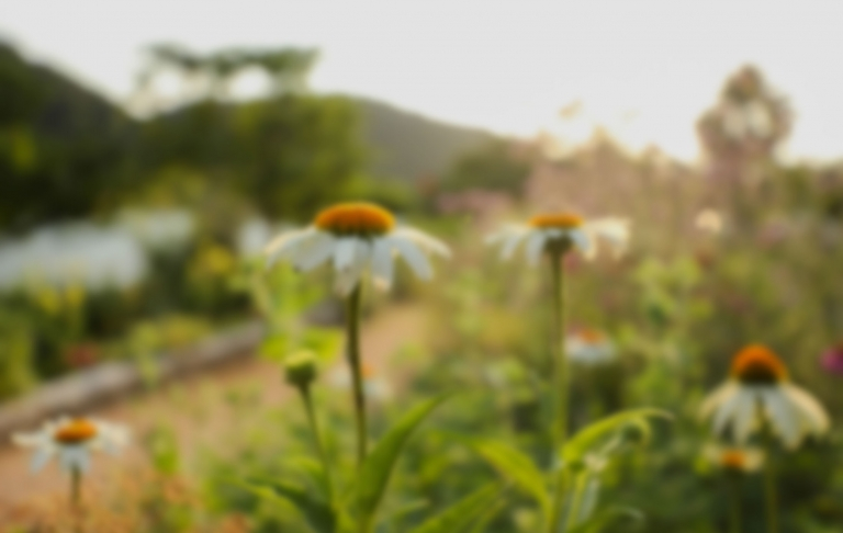 A photo of out of focus white daisies and greenery.