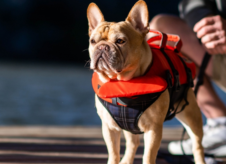 A dog buckled into a life preserver for water safety